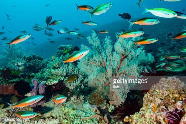 arrecife de coral con fuerte corriente pero impresionante biodiversidad, isla de komodo, indonesia - komodo fotografías e imágenes de stock