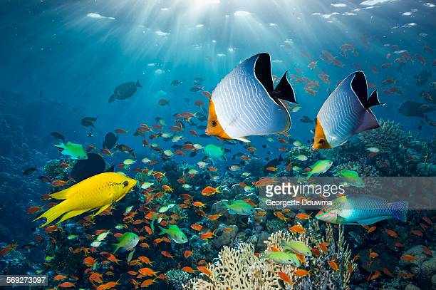 coral reef with tropical fish - reef stock pictures, royalty-free photos & images