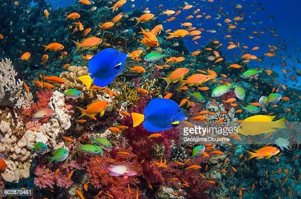 coral reef with yellow tang and goldies - red sea stock pictures, royalty-free photos & images
