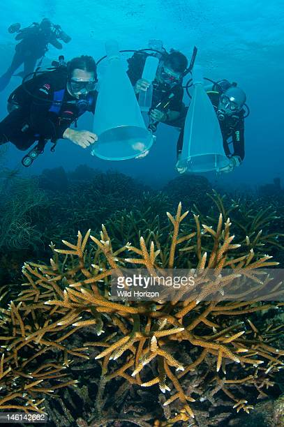 Coral researchers gathering gamete bundles from staghorn coral Curacao Netherlands Antilles