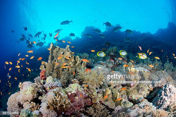 Coral scenery and shoal of anthias