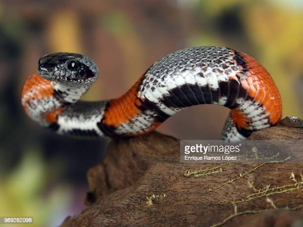 coral snake - coral snake stock pictures, royalty-free photos & images