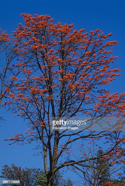 Coral tree a nitrogen fixer leaves high in nitrogen Costa Rica Erythrina sp