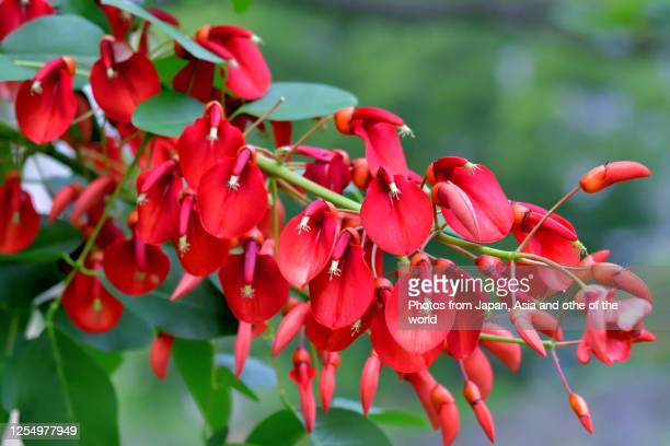 coral tree / erythrina crista-galli / cockspur coral tree flower - hermaphrodite stock pictures, royalty-free photos & images