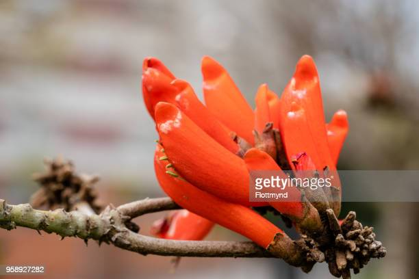 Coral tree with bright red flowers