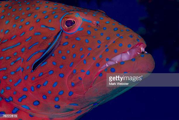 coral trout (cepalopholis sexmaculata), st johns reef, red sea, egypt - the webster stock pictures, royalty-free photos & images