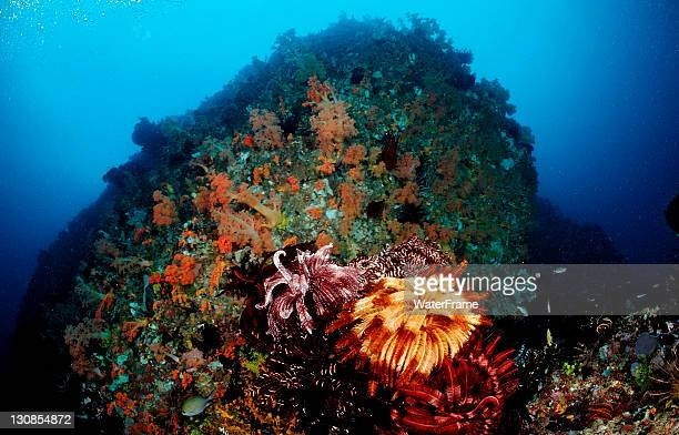 coral with feather stars (crinoidea), komodo, flores, indonesia, southeast asia - crinoidea stock pictures, royalty-free photos & images