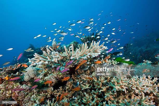 Coralfishes over Reef Namena Marine Reserve Fiji