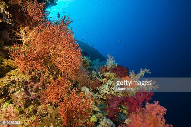 Corals cover Numidia Wreck Brother Islands Red Sea Egypt