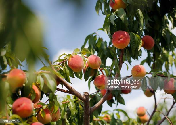 Coralstar peaches at Libby Son UPicks farm in Limerick are almost ripe for the picking says owner Aaron Libby