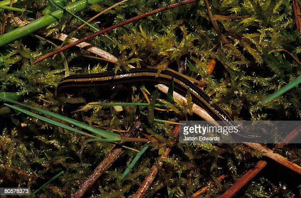 A black and yellow striped Leech shelters in a moist wetland plants.
