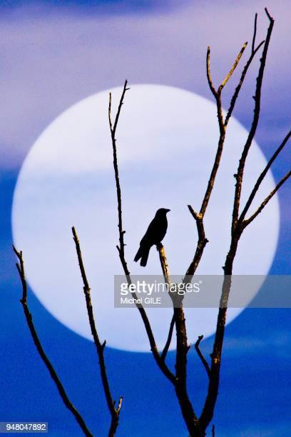 Corbeau perché sur une branche d'un arbre mort ambiance lugubre