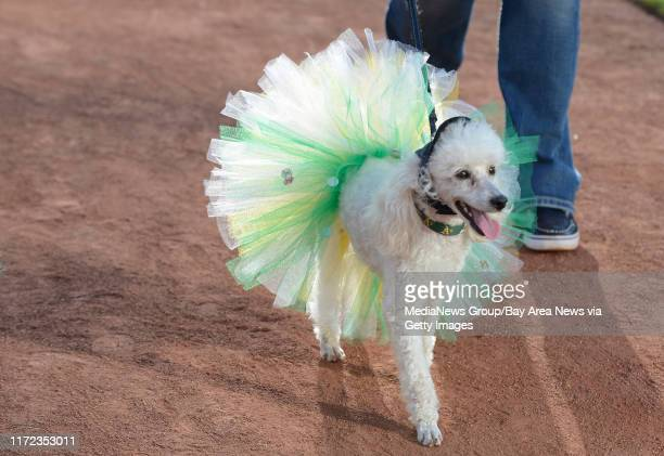Cordelia, a 4-year old miniature poodle, wears a dress while walking with owner Shannon Booze, of Alameda, before their game against the St. Louis...