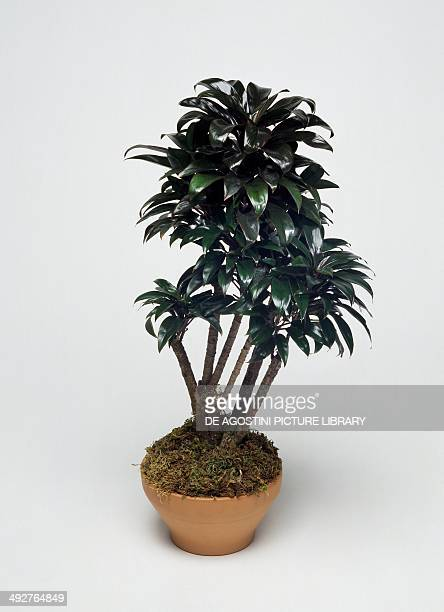 Cordyline Asparagaceae