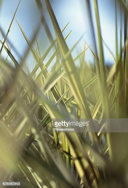 Cordyline Cordyline australis Torbay Dazzler