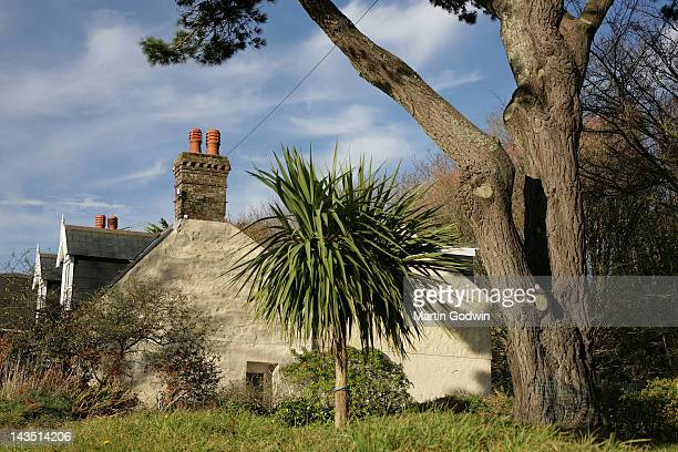 Cordyline growing by cottages and tree in rural setting on the Islan of Sark 20th November 2008