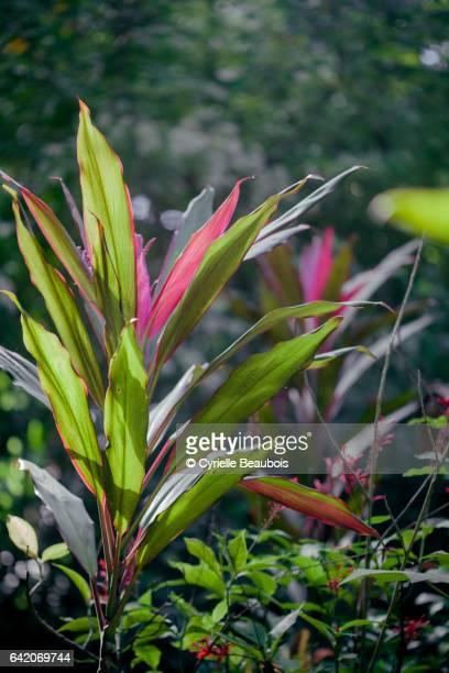 cordyline leaves - valle de vinales stock-fotos und bilder