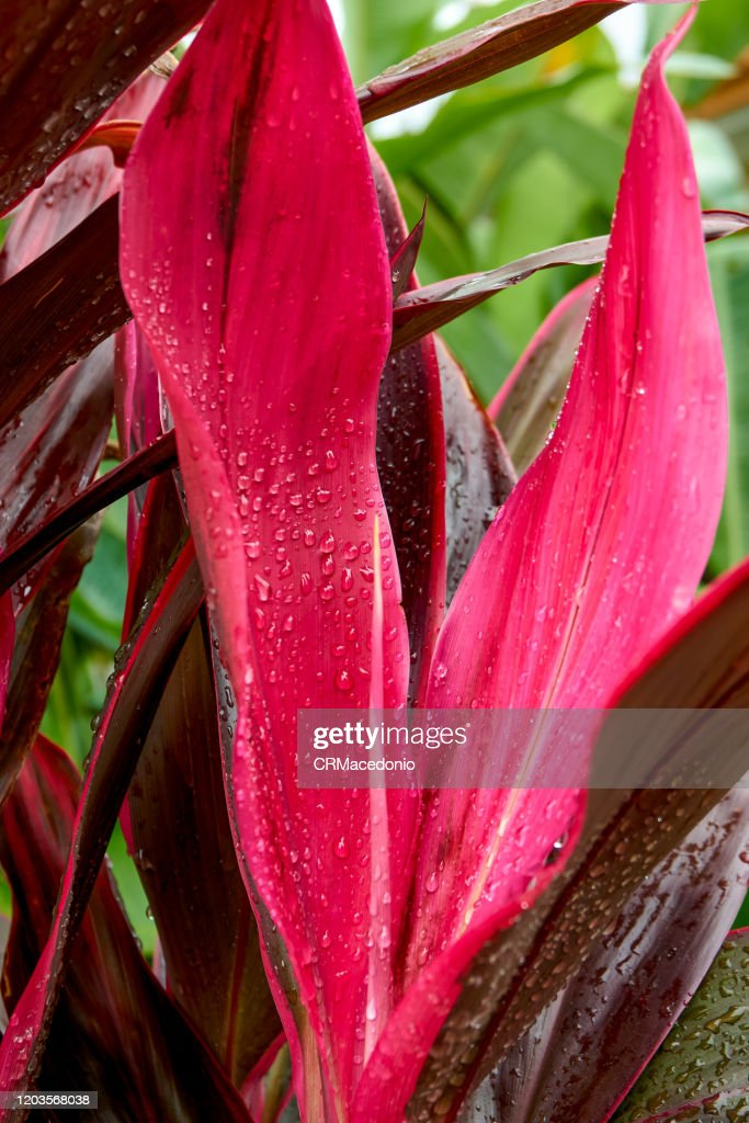 Cordyline : Stock Photo