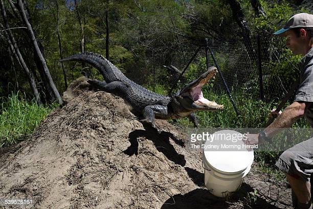 Corey Meade gets out of the way of an aggresive female American Alligator as she protects her nest from staff at the Australia Reptile Park 7 January...
