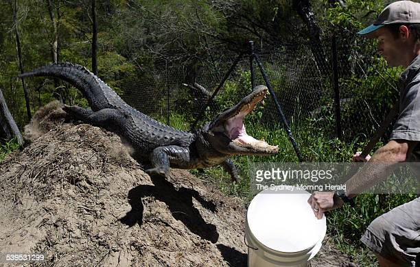 Corey Meade gets out of the way of an aggresive female American Alligator as she protects her nest from staff at the Australia Reptile Park on 7...