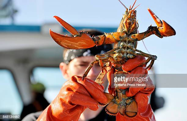 Corey Morris measures a lobster while lobstering off the shore near Tenants Harbor Friday June 24 2016 The lobster was released