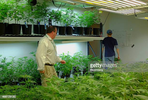 Corey Young a founder of courier service CannaRabbit LLC makes a stop at a grow facility to pick up marijuana samples for transport to a lab in...