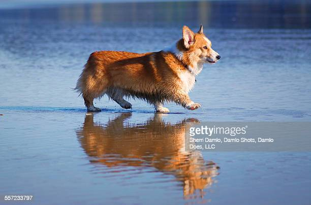 corgi and his reflection - damlo does imagens e fotografias de stock