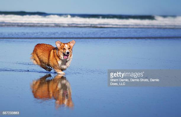 corgi and his reflection - damlo does fotografías e imágenes de stock