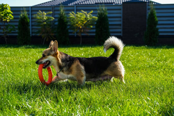 Corgi carries puller in his mouth.