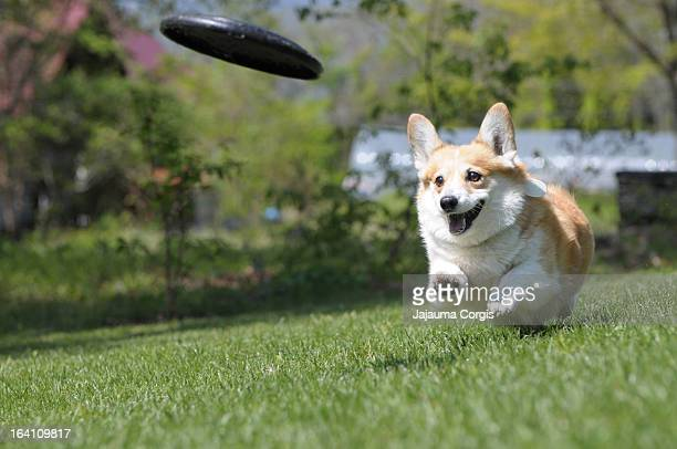 corgi chasing disc - one animal stock pictures, royalty-free photos & images