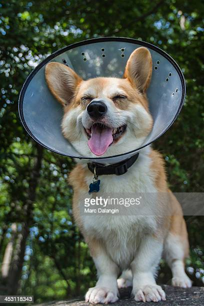 Corgi dog has a big smile even with the cone on