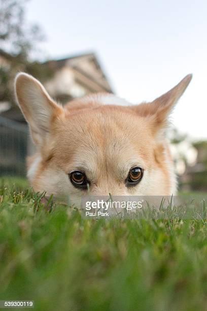 Corgi dog hiding in the grass