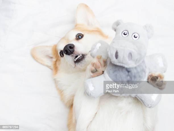 Corgi dog holding a hippopotamus toy
