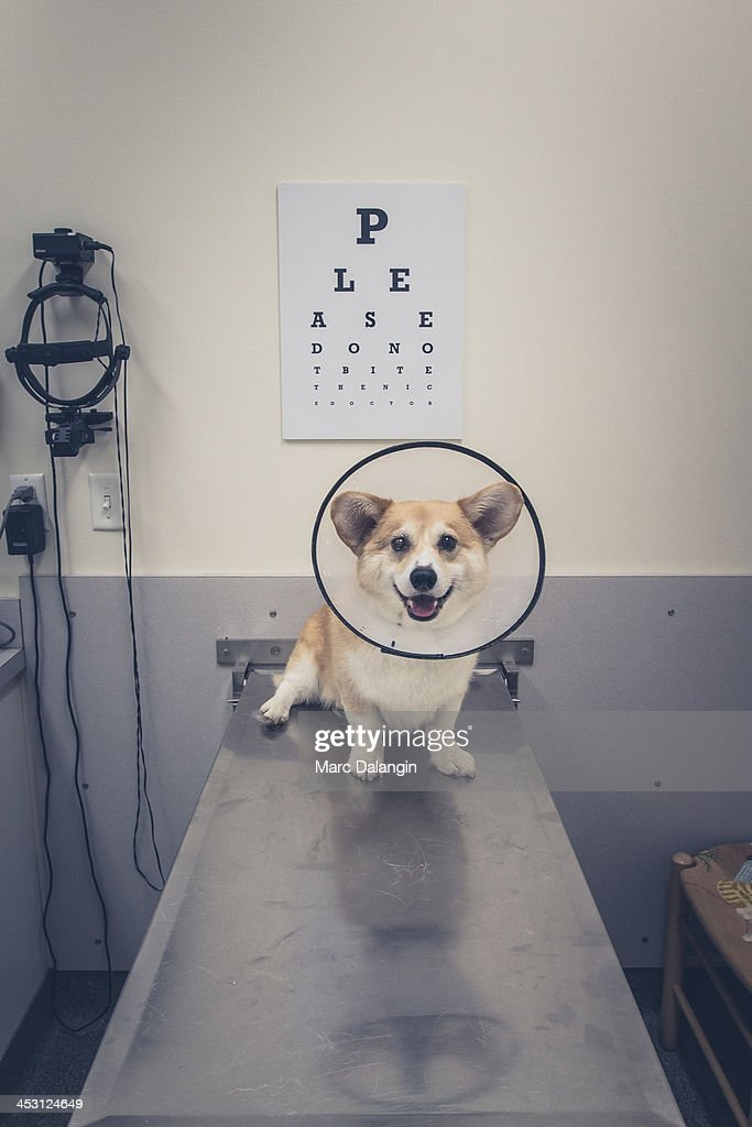 Corgi dog is smiling in the veterinarian's office : Stock Photo
