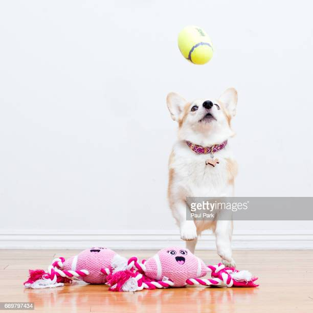 Corgi dog leaping for a football toy