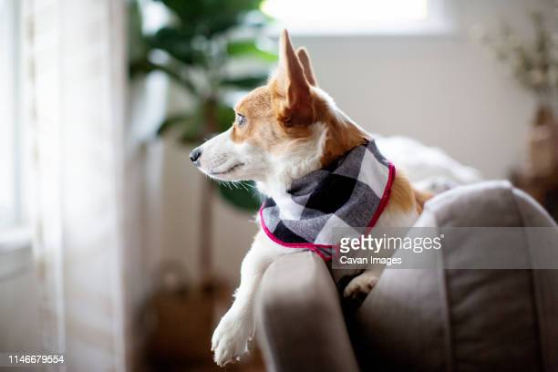 corgi dog side view laying on couch looking out window - scarf stock pictures, royalty-free photos & images