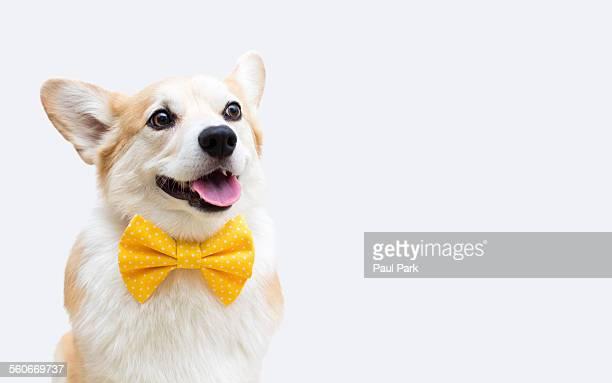 Corgi dog smiling, wearing a yellow bow tie