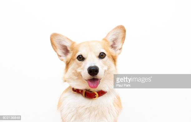 corgi dog wearing a collar and smiling - collar stock pictures, royalty-free photos & images