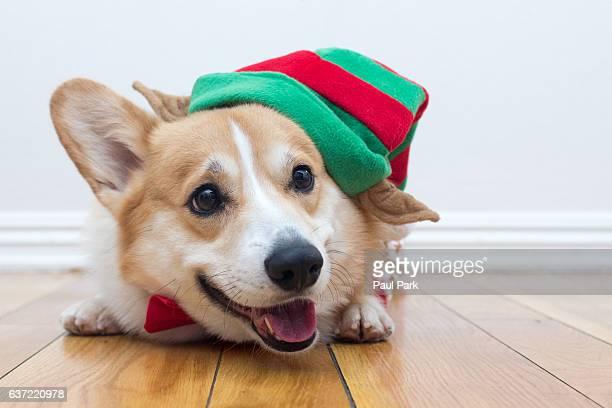 Corgi dog wearing an elf hat