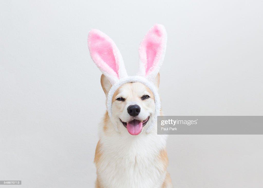 Pembroke Welsh Corgi smiling while wearing Easter bunny ears.