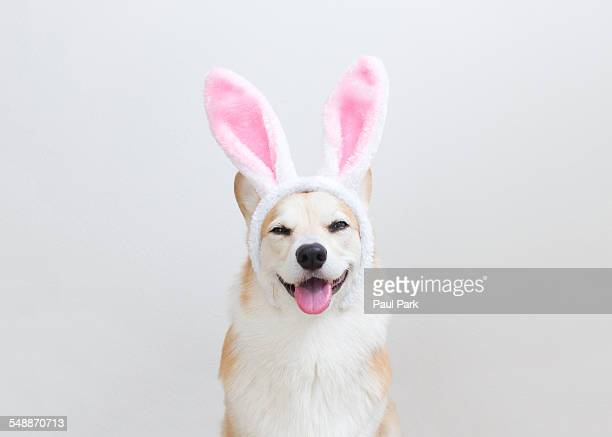 corgi dog wearing bunny ears - osterhase stock-fotos und bilder