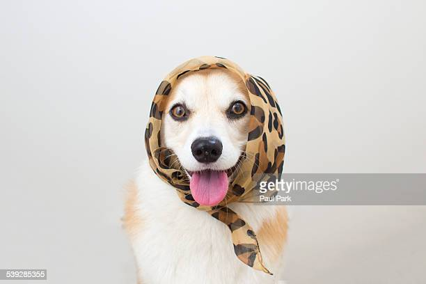 corgi dog wearing scarf - leopard print stock pictures, royalty-free photos & images