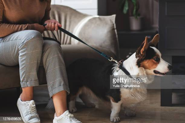 a corgi dog with a woman going for a walk. dog with a collar and leash - collar stock pictures, royalty-free photos & images