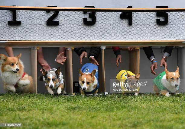 Corgi dogs race during the heats of the Southern California Corgi Nationals championship at the Santa Anita Horse Racetrack in Arcadia California on...