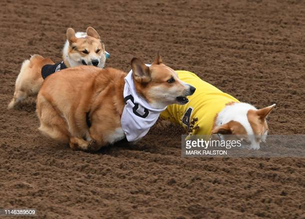 Corgi dogs race during the Southern California Corgi Nationals championship at the Santa Anita Horse Racetrack in Arcadia California on May 26 2019...