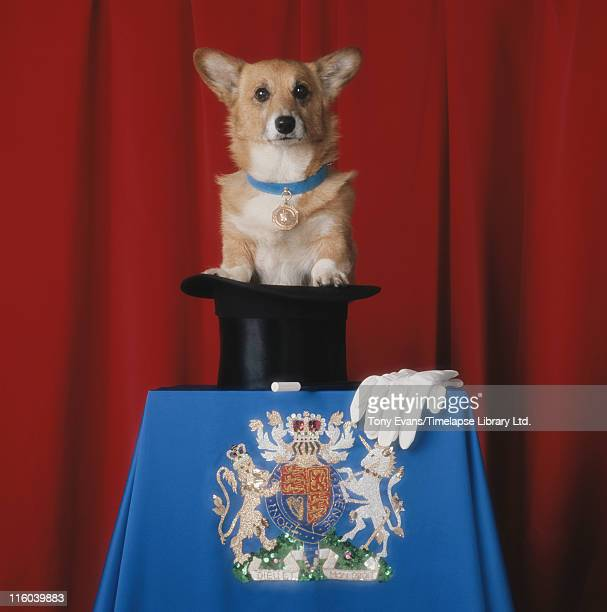 A corgi emerging from a magician's top hat on a table decorated with a royal coat of arms 1972