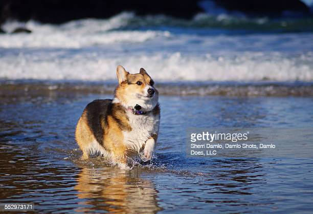 corgi in cold water - damlo does stock pictures, royalty-free photos & images