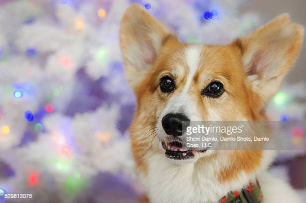 corgi in front of white tree - damlo does imagens e fotografias de stock
