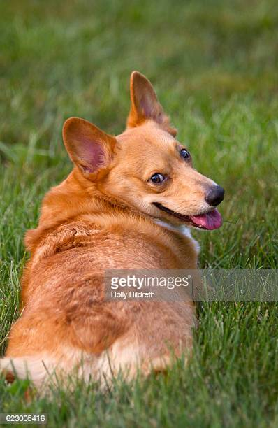 Corgi in grass