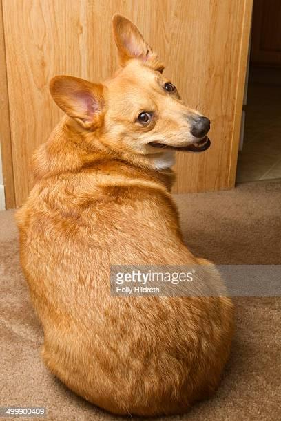 corgi looking over shoulder - looking over shoulder ストックフォトと画像